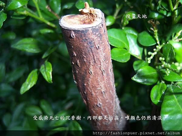 受感染的沉香樹.JPG