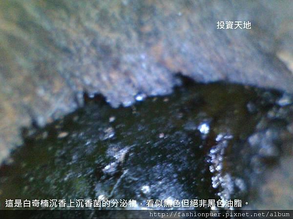 白奇楠沉香上分泌物 (2)