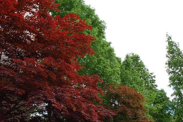 韓國民俗村 - 火紅的楓葉