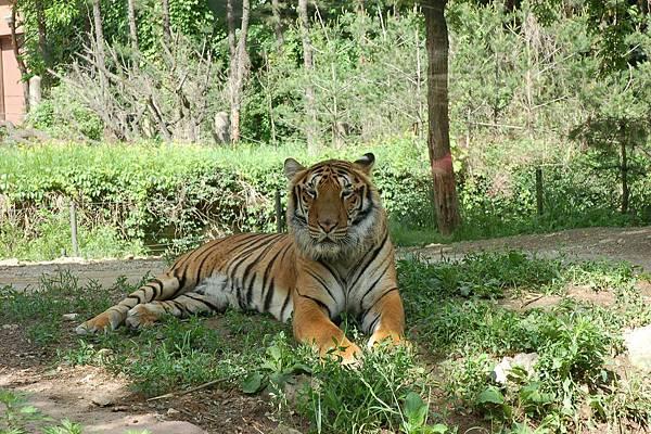 愛寶樂園 - 野生動物區︰近在咫尺的老虎