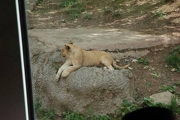 愛寶樂園 - 野生動物區︰可愛的小獅子