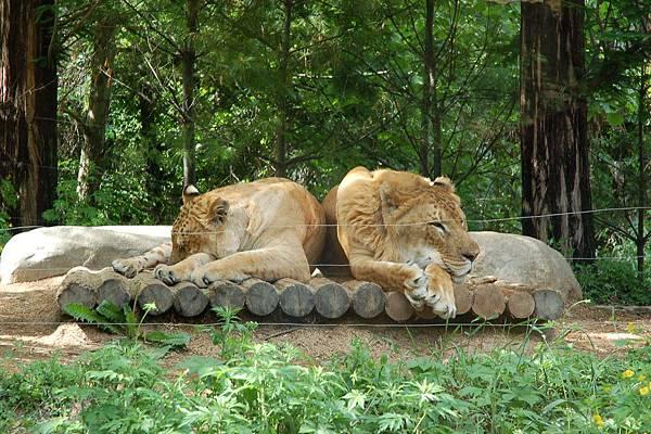 愛寶樂園 - 野生動物區︰聞名世界的2隻獅虎