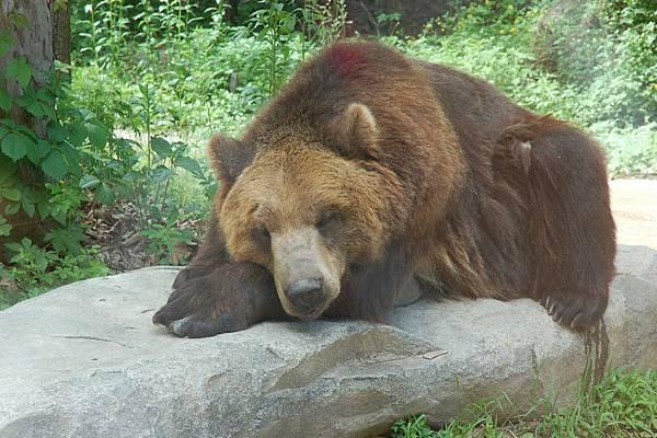 愛寶樂園 - 野生動物區︰棕熊