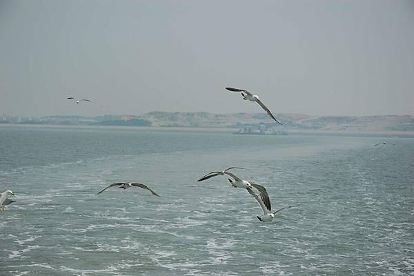 跟著海鷗船的海鷗