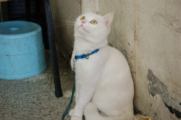 麵線攤的貓 - 波波