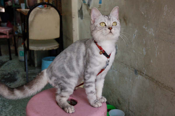 麵線攤的貓 - 阿球(剃毛了)