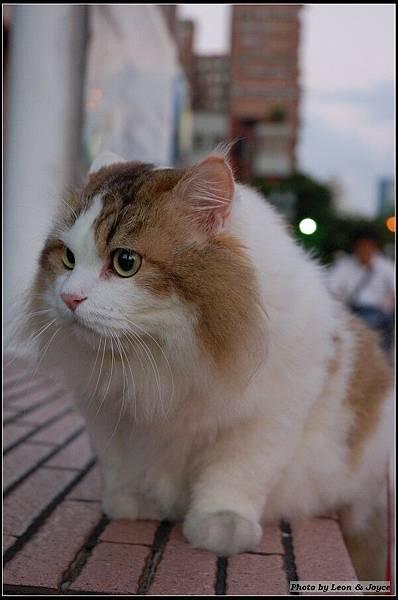 2006/10/21 阿ㄆ一ㄚv (挪威森林貓)