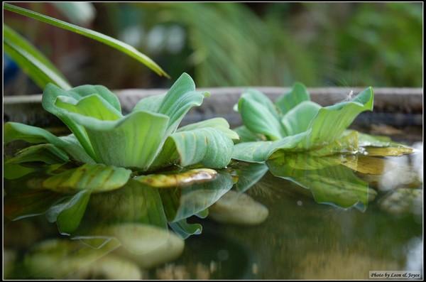 下午二點半,沒得吃,只能拍拍花園裡的水芙蓉
