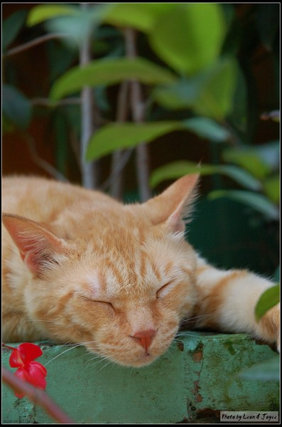 馬偕街上一隻睡到翻掉的貓咪