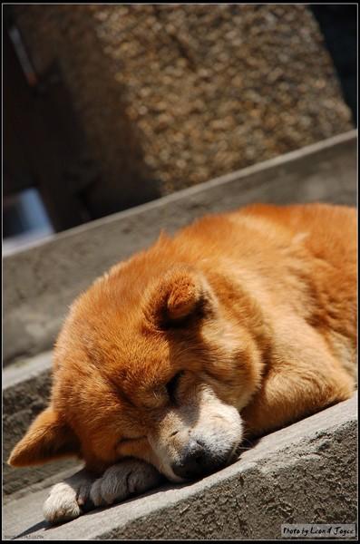 淡水國小門口一隻睡得香甜的狗