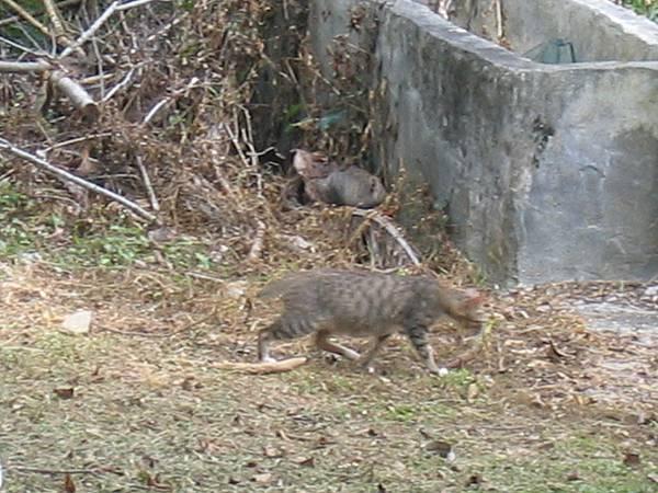 初鹿旁的野貓
