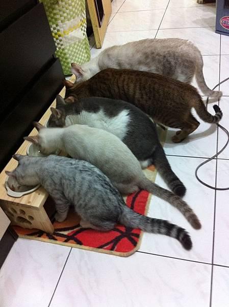五條貓吃飯.jpg