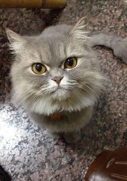 鬆餅(貓咪,母)