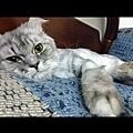 【動物溝通實習筆記】灰灰(貓咪,公):灰灰前世關係:爸爸在前世是千金小姐,媽媽是她的貼身丫環。