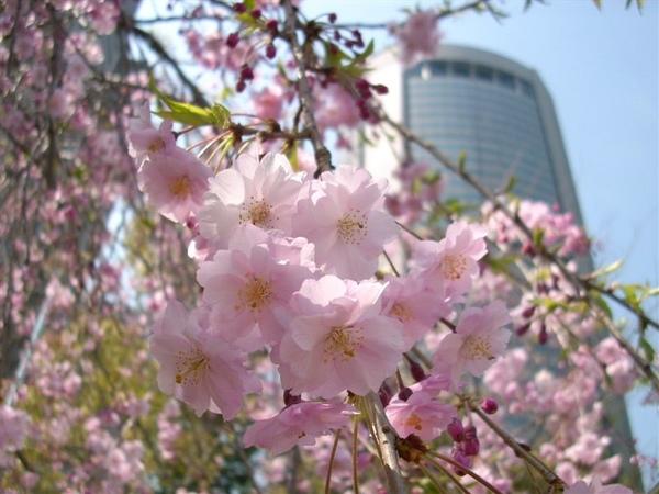 垂枝櫻與旁邊的辦公大樓