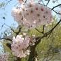 櫻花球正美