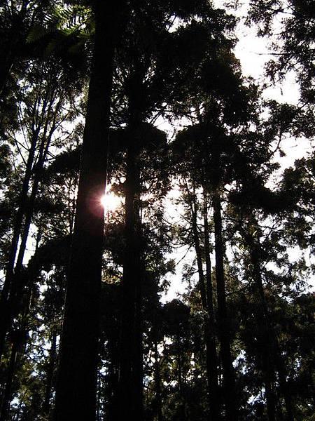 杉樹茂盛,陽光入侵履履失敗