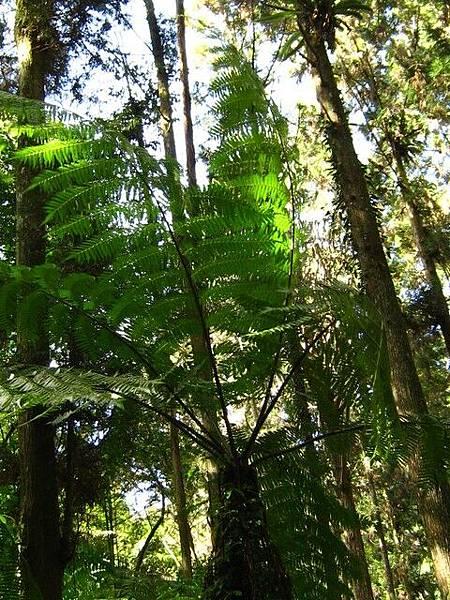 長很慢厥類植物(鐵樹??)與杉樹比身高。