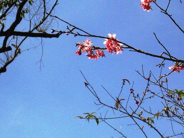 美麗櫻花,據說台灣比日本櫻花紅