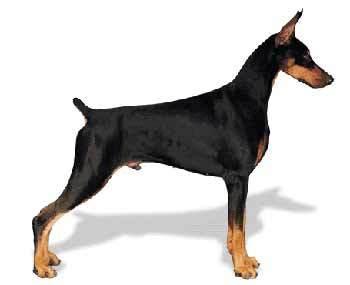 杜賓犬(Dobermann)