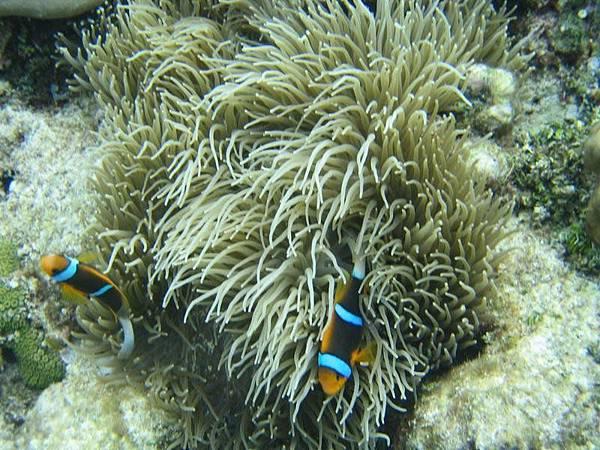 珊瑚及小丑魚…在帛琉的水產研究中心拍的,所以比較亮些