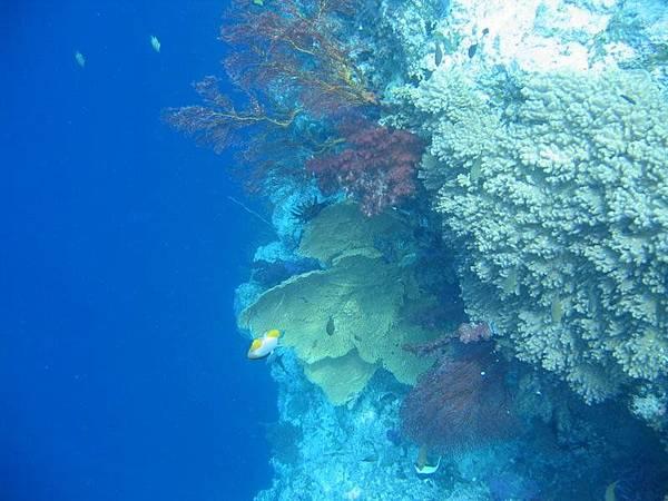 帛琉也是個珊瑚很多的國家