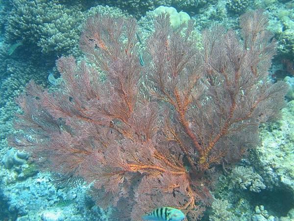 在水產研究中心拍的…不過帛琉的海裡多的是比這個還漂亮的珊瑚