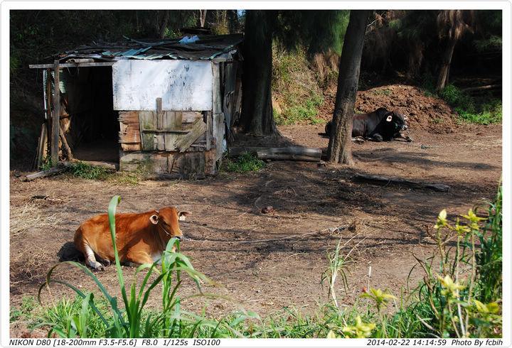 兩種顏色的牛