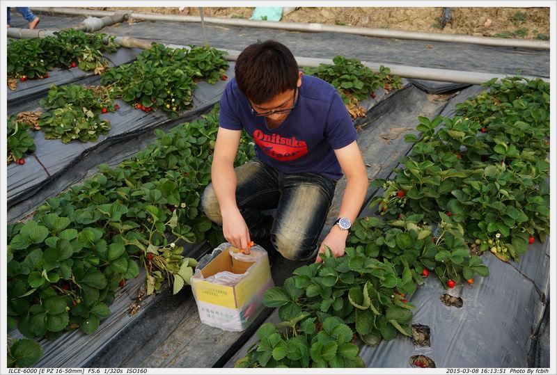 努力採草莓