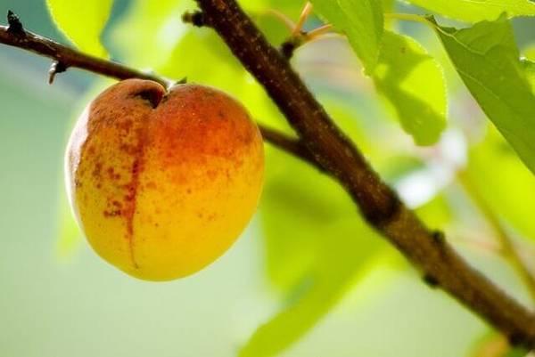 apricot-1566327-639x426.jpg