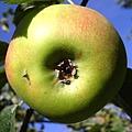 apple-1463455-640x640.jpg