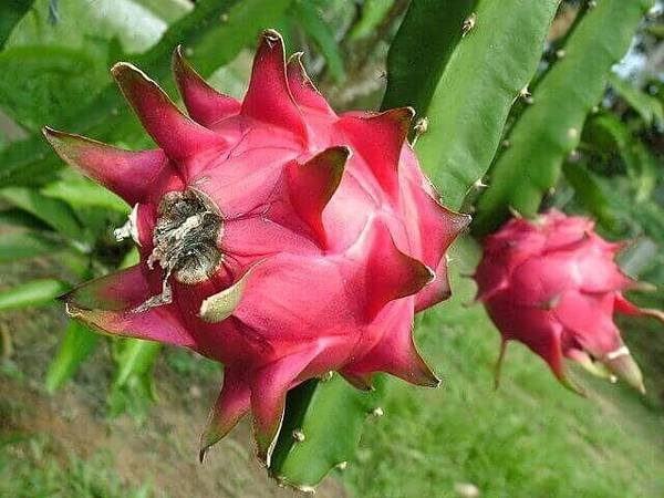 dragon-fruit-1318747-640x480.jpg
