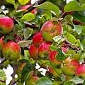 apple-1633661_640.jpg