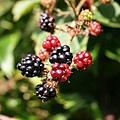 blackberry-200535_640.jpg