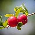 cherry-142385_640.jpg