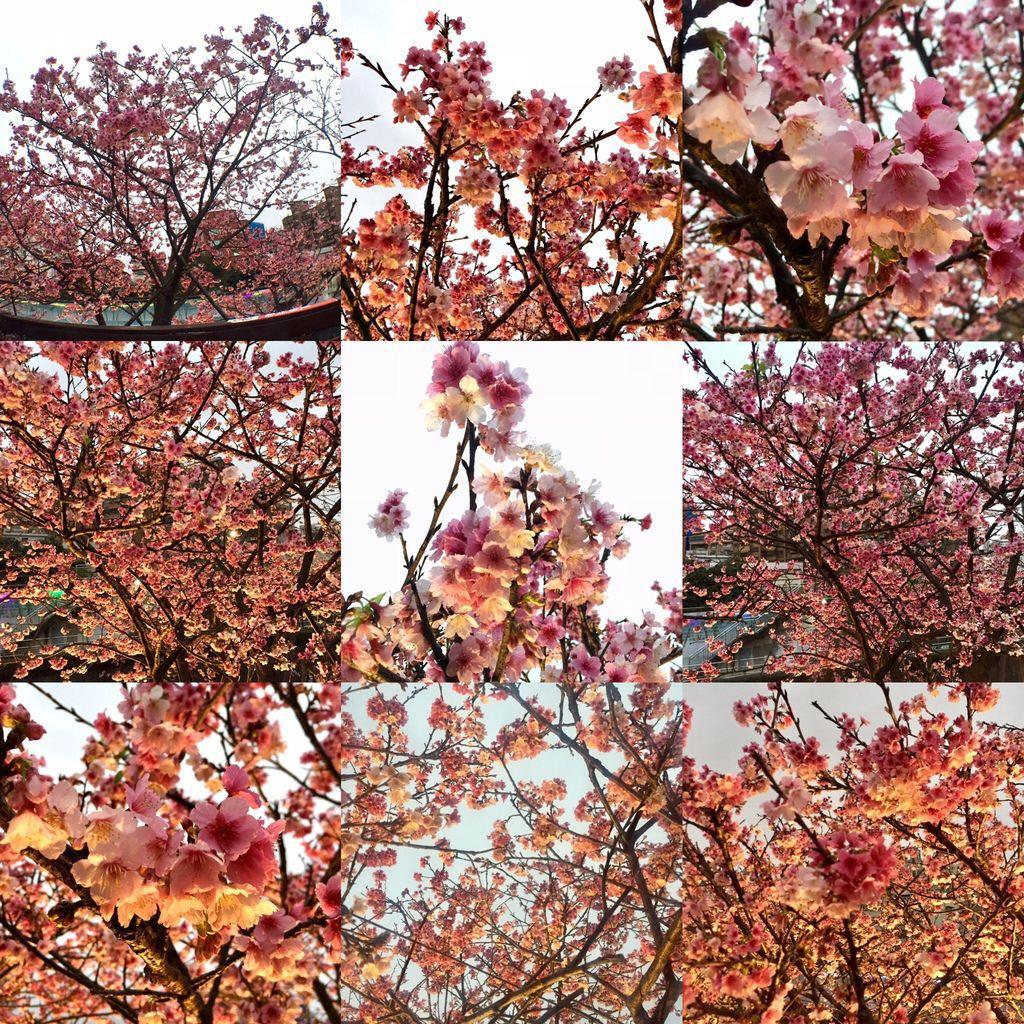 2020櫻花季!東湖樂活公園(下)櫻花林夜櫻的極致享受!