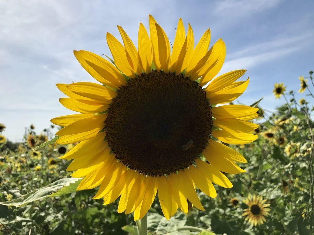 桃園景點-2019向日葵花季在向陽農場漫步在向日葵花海中【丁小羽旅遊篇】