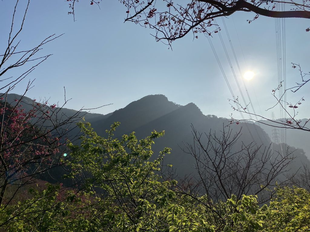 2020櫻花季!新北三峽賞櫻景點,大熊櫻花林是你春節賞櫻的好地點