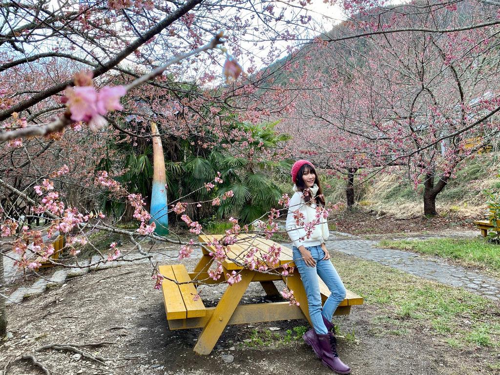 2020櫻花季!武陵農場櫻花季,全台最佳賞櫻勝地,來看粉紅香水櫻