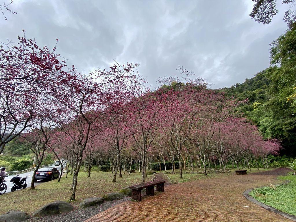 2020櫻花季!宜蘭賞櫻祕境!台七甲八重櫻花林的櫻緣青邨