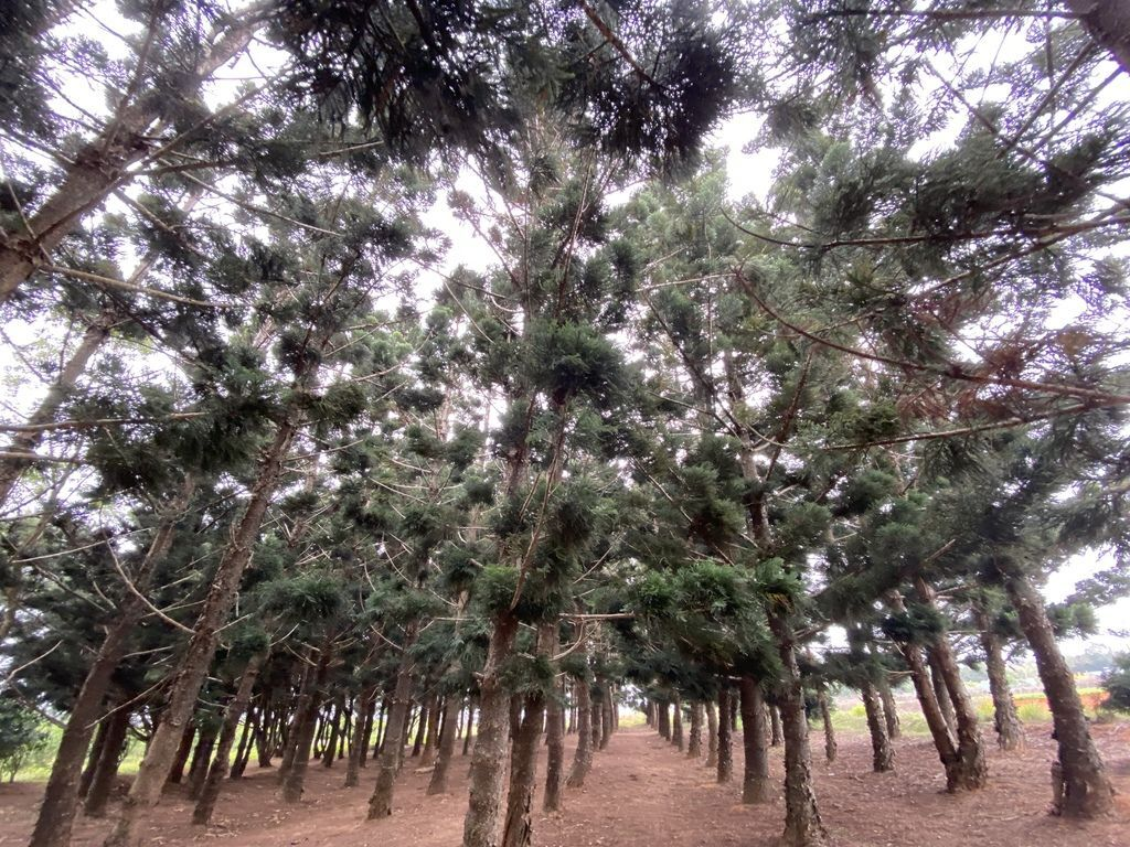台中沙鹿景點-來看看如夢似幻的忘憂森林-九天黑森林