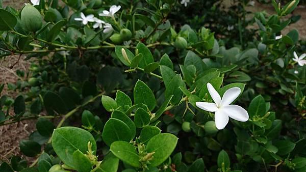 卡利撒(美國櫻桃)花-2