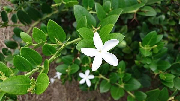 卡利撒(美國櫻桃)花-1