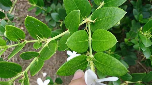卡利撒(美國櫻桃)葉