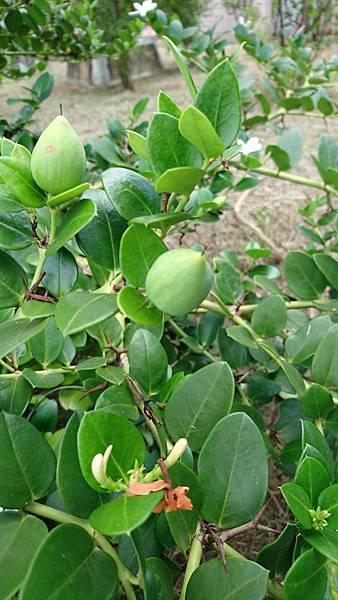 卡利撒(美國櫻桃)果實