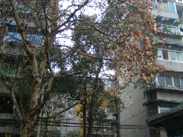 很高大的梧桐樹