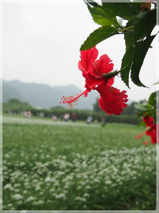 韭菜花P9230066-20130828