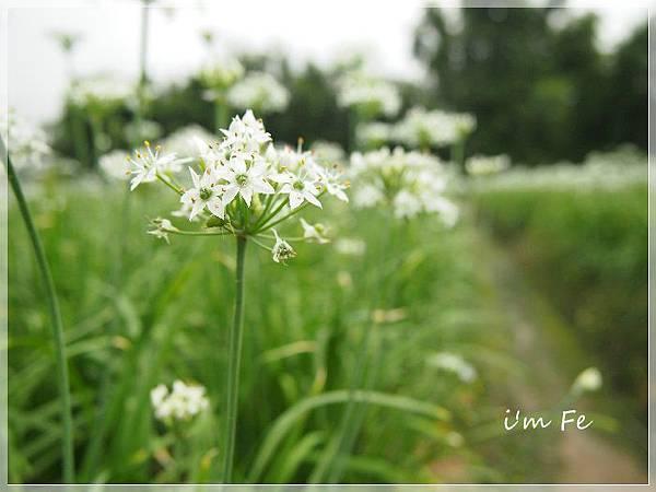 韭菜花P9230040-20130828