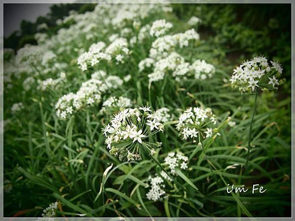 韭菜花P9230080-20130828