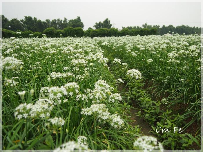 韭菜花P9230082-20130828